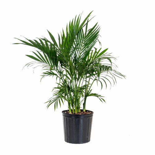 Cat Palm Foliage Perspective: front