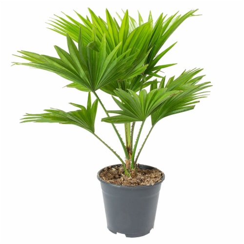 Chinese Fan Palm Foliage Perspective: front