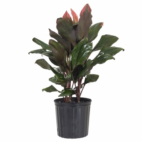 Cordyline Foliage Perspective: front