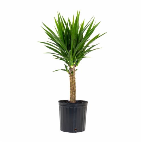 Yucca Foliage Perspective: front
