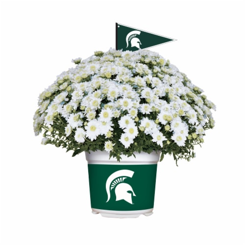 Sporticulture Michigan State Spartans Team Color Potted Mum Perspective: front