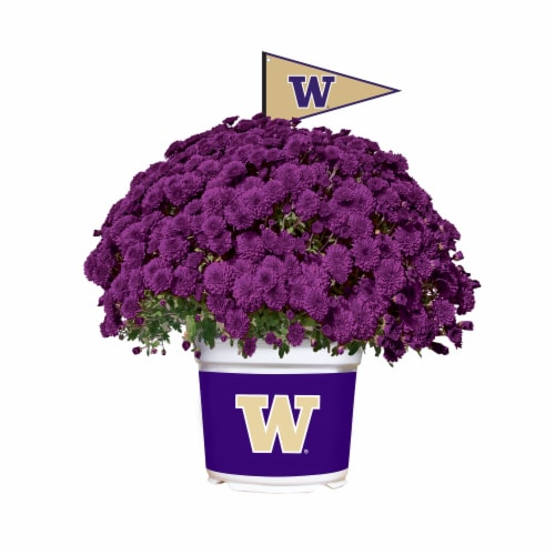 Sporticulture Washington Huskies Team Color Potted Mum Perspective: front