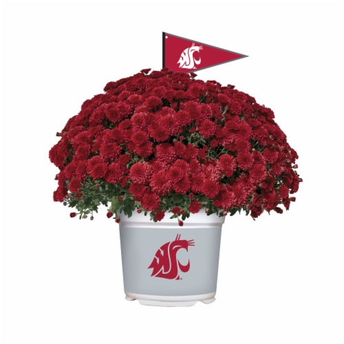 Sporticulture Washington State Cougars Team Color Potted Mum Perspective: front