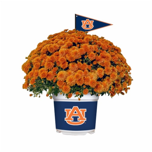 Sporticulture Auburn Tigers Team Color Potted Mum Perspective: front