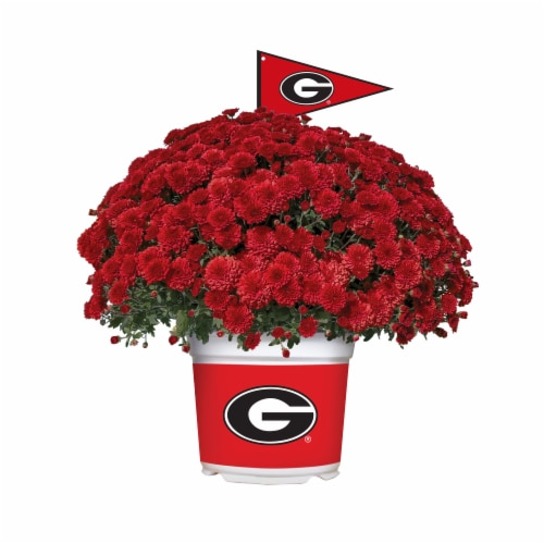 Sporticulture Georgia Bulldogs Team Color Potted Mum Perspective: front