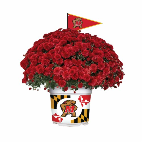 Sporticulture Maryland Terrapins Team Color Potted Mum Perspective: front