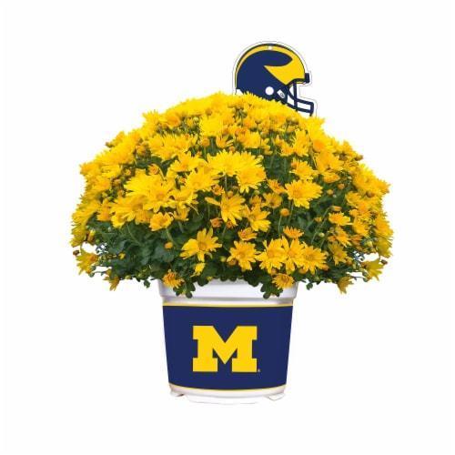 Sporticulture Michigan Wolverines Team Color Potted Mum Perspective: front