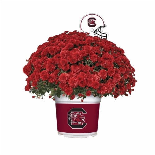 Sporticulture South Carolina Gamecocks Team Color Potted Mum Perspective: front