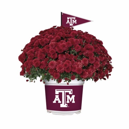 Sporticulture Texas A&M Team Color Potted Mum Perspective: front