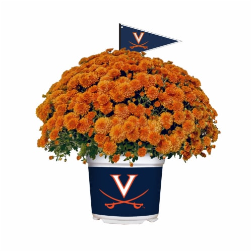 Sporticulture Virginia Cavaliers Team Color Potted Mum Perspective: front