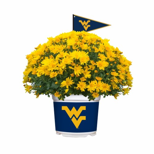 Sporticulture West Virginia Mountaineers Team Color Potted Mum Perspective: front