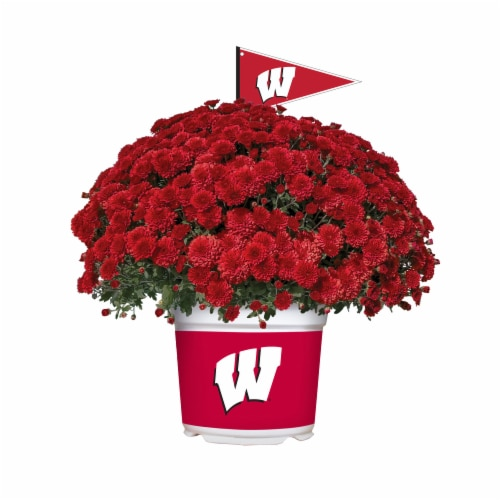 Sporticulture Wisconsin Badgers Team Color Potted Mum Perspective: front