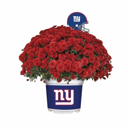 Sporticulture New York Giants Team Color Potted Mum Perspective: front
