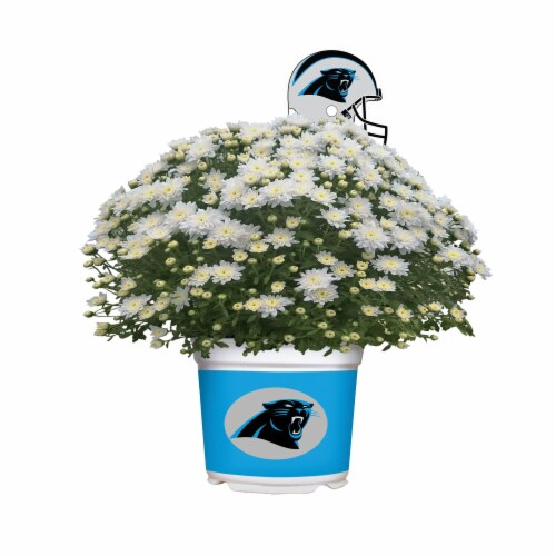 Sporticulture Carolina Panthers Team Color Potted Mum Perspective: front