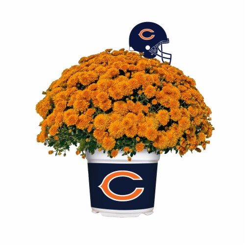 Sporticulture Chicago Bears Team Color Potted Mum Perspective: front