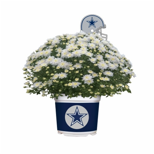 Sporticulture Dallas Cowboys Team Color Potted Mum Perspective: front