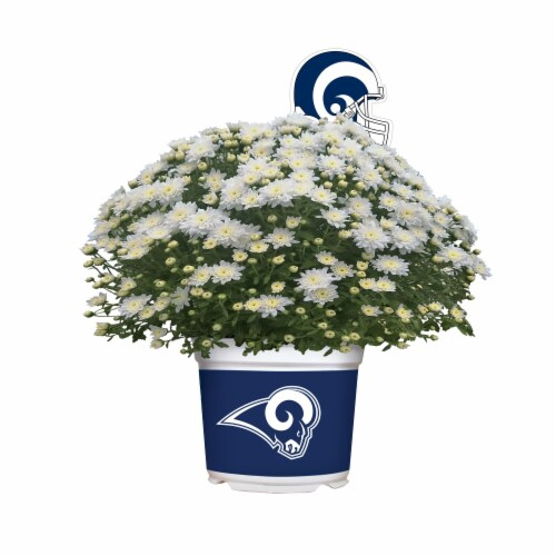 Sporticulture Los Angeles Rams Team Color Potted Mum Perspective: front