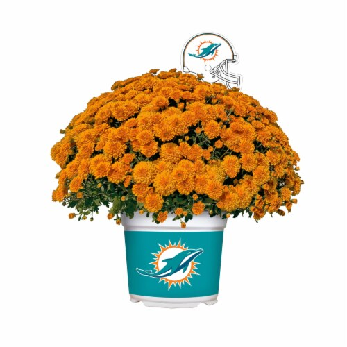 Sporticulture Miami Dolphins Team Color Potted Mum Perspective: front