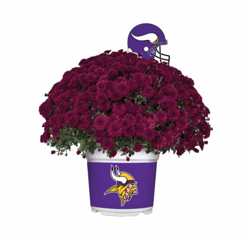 Sporticulture Minnesota Vikings Team Color Potted Mum Perspective: front