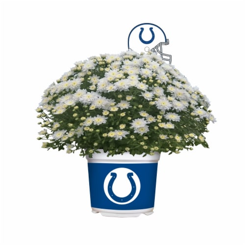 Sporticulture Indianapolis Colts Team Color Potted Mum Perspective: front