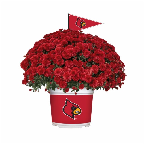 Sporticulture Louisville Cardinals Team Color Potted Mum Perspective: front