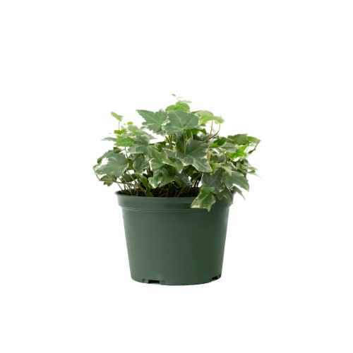Foliage Potted Plant - Assorted Perspective: front