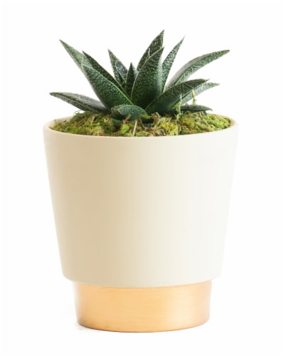 LiveTrends Ceramic Elegance Pot Succulent - Cream (Approximate delivery is 2-5 days) Perspective: front