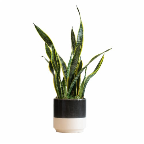 LiveTrends Snake Plant in Ceramic - Black/Cream (Approximate delivery is 2-5 days) Perspective: front