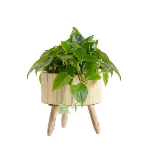 LiveTrends Bamboo Basket Large - Philodendron (Approximate delivery is 2-5 days) Perspective: front