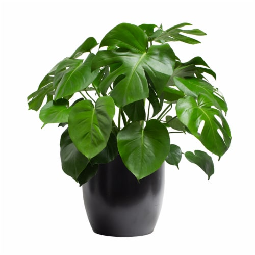 LiveTrends Philo Monstera Black Ceramic Pot  (Approximate delivery is 2-5 days) Perspective: front
