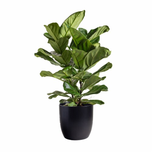 LiveTrends Fiddle Leaf Fig in Navy Ceramic Pot (Approximate delivery is 2-5 days) Perspective: front