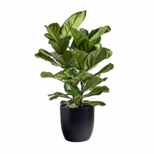LiveTrends Fiddle Leaf Fig in Black Ceramic Pot (Approximate delivery is 2-5 days) Perspective: front