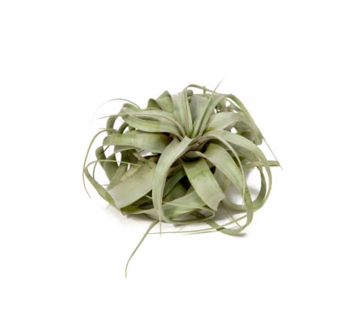 LiveTrends Xerographica Foliage Plant (Approximate delivery is 2-5 days) Perspective: front