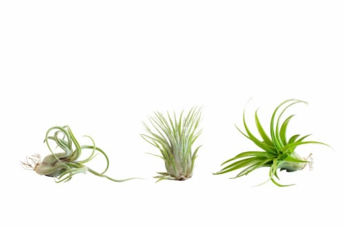 LiveTrends Assorted Airplant 3 Pack (Approximate delivery is 2-5 days) Perspective: front