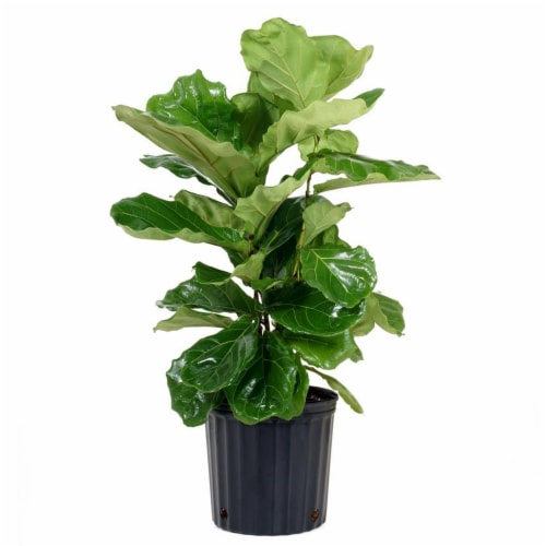 Potted Ficus Lyrata Fiddle-Leaf Fig 1 Count (Approximate Delivery is 2-7 Days) Perspective: front