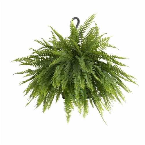 Boston Fern Live Indoor Outdoor in Hanging Basket 1 Count (Approximate Delivery is 2-7 Days) Perspective: front