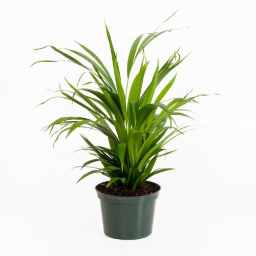 Potted Areca Palm 1 Count (Approximate Delivery is 2-7 Days) Perspective: front