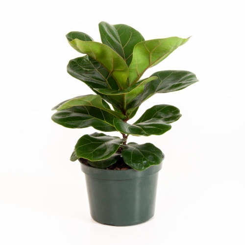 Potted Ficus Lyrata Pandurata Plant 1 Count (Approximate Delivery is 2-7 Days) Perspective: front