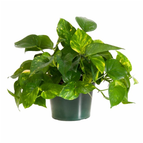 Potted Golden Pothos Ivy 1 Count (Approximate Delivery is 2-7 Days) Perspective: front