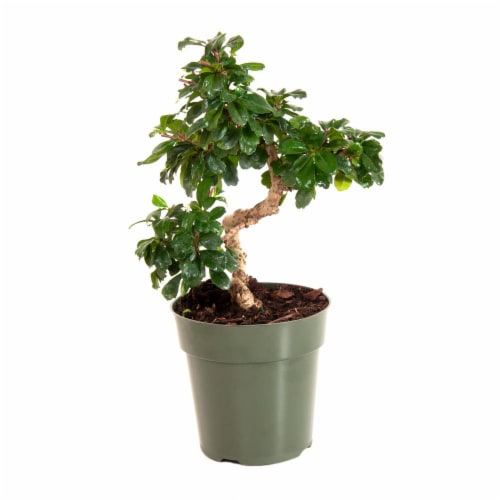 Potted Fukien Tea Bonsai Tree 1 Count (Approximate Delivery is 2-7 Days) Perspective: front