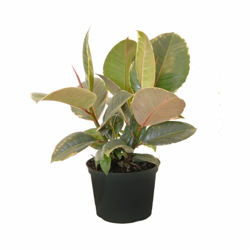 Potted  Ficus Tineke Plant 1 Count (Approximate Delivery is 2-7 Days) Perspective: front