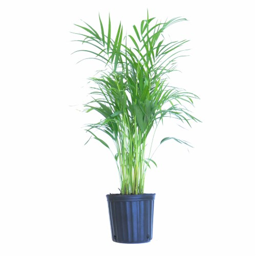 Areca Palm Potted Plant (Approximate Delivery is 2-7 Days) Perspective: front