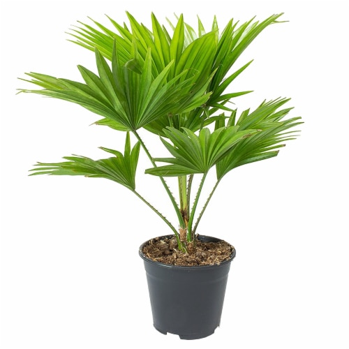 Fan Palm Potted Plant (Approximate Delivery is 2-7 Days) Perspective: front