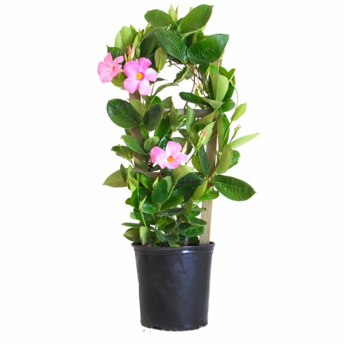 Mandevilla Trellis Giant Pink (Approximate Delivery is 2-7 Days) Perspective: front