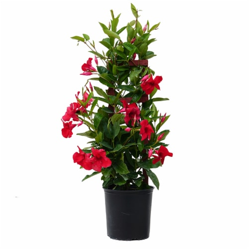 Giant Mandevilla Potted Plant - Red (Approximate Delivery is 2-7 Days) Perspective: front