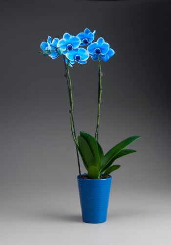 Blue Sapphire Potted Orchid Perspective: front