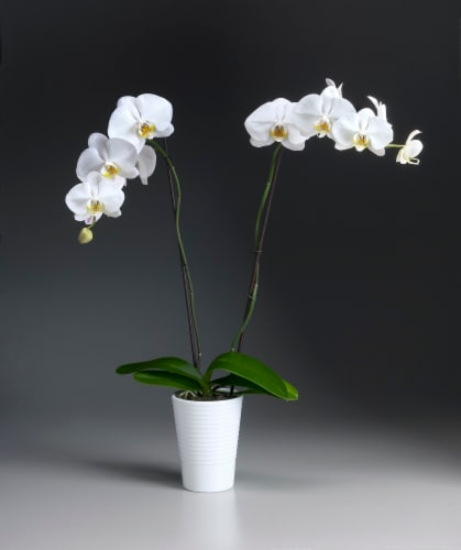 White Orchid in Ceramic Perspective: front