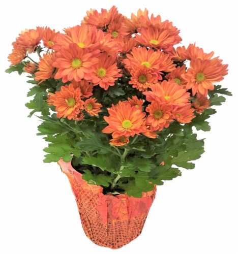 Premium Fall Mums Perspective: front