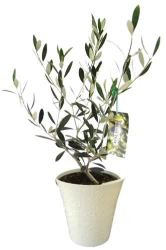 Olive Tree in Colorful Pot Perspective: front