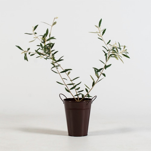 Olive Tree in Decorative Planter (1 ea) Perspective: front